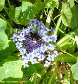 Small blue flowers around a center of darker blue.