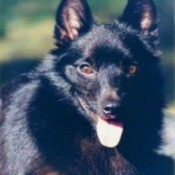 Breed Information: Schipperke
