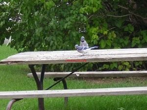 blue jays on picnic table