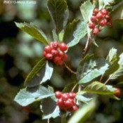 Growing: Hawthorn