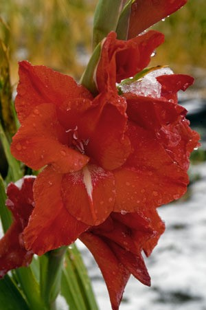 red gladioli flowers in the snow