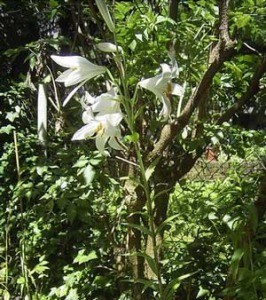 Growing: Madonna Lily