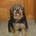 Bearded Collie/Terrier Mix