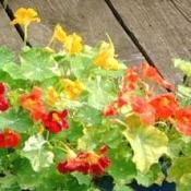 Growing: Nasturtium