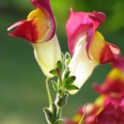 Closeup of snapdragon flowers.