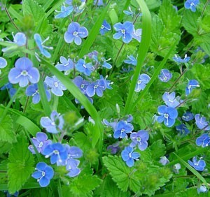 Close up of Veronica flowers