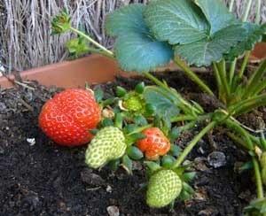 Transplanting Strawberries