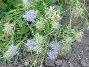 Scabiosa (Pincushion Flowers)