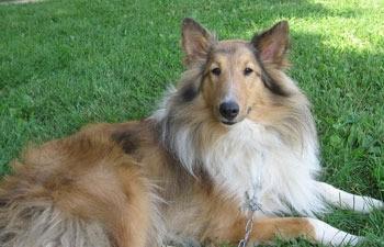 Killian (Shetland Sheepdog)