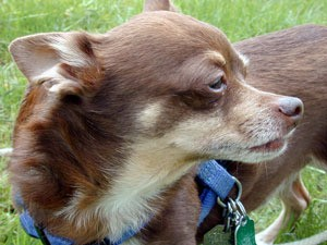 Breed Information: Chihuahua