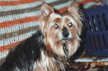 Toby (Yorkshire Terrier)