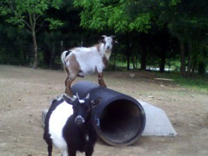 One goat on plastic corrgated pipe and other standing in yard.