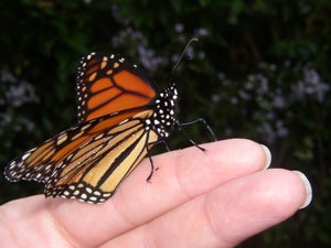 monarch butterly