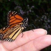monarch butterly