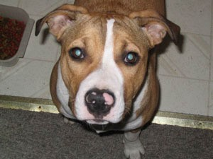 Brown and white Pit mix.