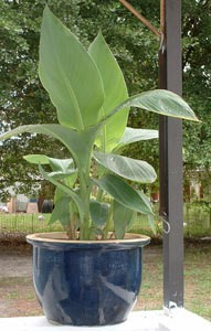 canna lily in pot