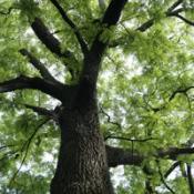 Medium sized tree.