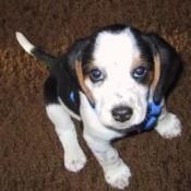 Spot (Beagle)