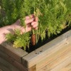 Growing carrots in a container.