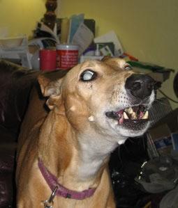 Greyhound barking.