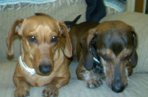 Josie and Jazz (Dachshunds)