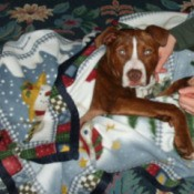 Reddish brown and white dog under a blanket.