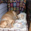 dog lying in crate