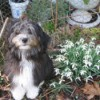 Muffin At Six Months (Papillon/ShihTzu/Poodle)