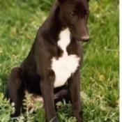 Greyhound in Grass