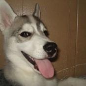 Dakota (Siberian Husky)