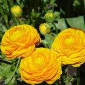 Growing: Ranunculus