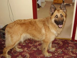 What Breed Is My Dog Golden Retriever And German Shepherd Mix