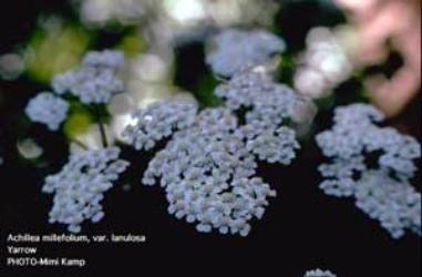 Growing: Yarrow (Herbs)