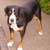 A Swiss mountain dog on a sidewalk outside.