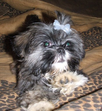 Miss Akemi (Shih Tzu) - Dark haired dog with bow in their hair.