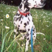 Dalmatian in field of daisies.