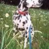 Dalmatian in field of daisies.