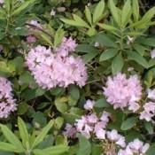 Wild Rhododendron - Western Washington