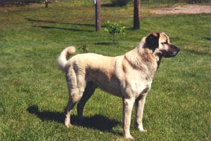 Anatolian Shepherd Dog on grass