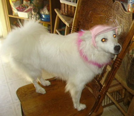 A white dog with a pink hat on.