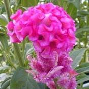 Celosia (Cockscomb)