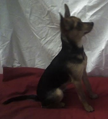 Black and tan Min Pin Chi dog.