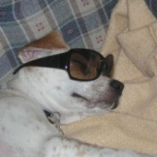 Dog with sunglasses.