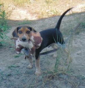 Jake (Miniature Beagle)