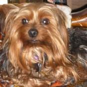 Odie (Yorkshire Terrier)