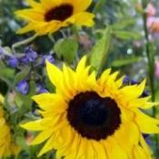 closeup of large sunflower