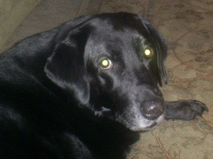 Older black lab portrait