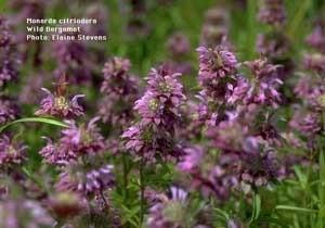 Bergamot (Bee Balm)