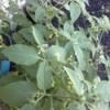 Unknown plant.