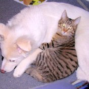 Cream colored puppy and tabby cat lying together.